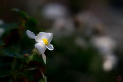 ILCE-3000-20161021-04451 (Otattemita) Tags: 57mmf12 florafauna hexanon konica konicaarmountlens konicahexanonar57mmf12 flower nature plant wildlife exif:isospeed=100 exif:model=ilce3000 exif:lens=konicahexanonar57mm112 exif:focallength=855mm exif:make=sony camera:model=ilce3000 camera:make=sony konicahexanonar57mm112 sonyilce3000 ilce3000 sony