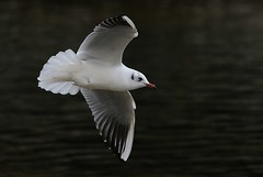 (merseymouse) Tags: gull bird nature wildlife