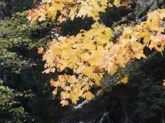 Autumn Leaves, Nethy Bridge, Speyside, Oct 2016 (allanmaciver) Tags: colours yello golden shine close up macro autumn nethy bridge speyside scotland allanmaciver tree