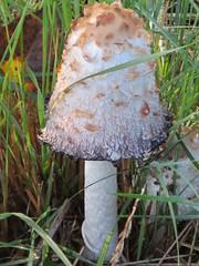 Fungus in the grass (jamica1) Tags: canada mushroom campus university bc okanagan ubc columbia fungus british kelowna ubco