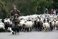 IMG_7875 (abphot) Tags: horizon past loire moutons nevers brebis transhumance troupeau abphot atbelkacem neversnievre