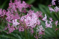 (ddsnet) Tags: travel plant flower japan sony cybershot  nippon   nihon  nerine backpackers     rx10 osakafu       flowerinjapan