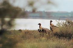 Griffon vulture (Jenny van Leeuwen Fotografie) Tags: los spain vale vulture griffon monegros gyps fulvus gier