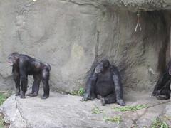 Chimpancé, Miami Metrozoo, Florida, EEUU (Pablo F. J.) Tags: usa animal fauna zoo monkey mono florida miami zoológico pan chimpanzee animalia mammalia primates simio eeuu pantroglodytes chordata hominidae hominoidea homininae haplorrhini simiiformes hominini