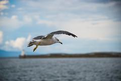 Black-tailed Gull Over Aomori Bay (aeschylus18917) Tags: ocean sea lighthouse bird nature japan port bay harbor bokeh seagull gull flight aves aomori  pxt  aloft laridae blacktailedgull charadriiformes    danielruyle aeschylus18917 danruyle druyle    laruscrassirostrus aomoriharbor
