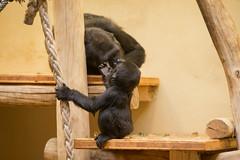 2014-12-05-13h45m15.BL7R8096 (A.J. Haverkamp) Tags: germany zoo gorilla krefeld dierentuin tambo miliki westelijkelaaglandgorilla canonef70200mmf28lisusmlens pobkrefeldgermany httpwwwzookrefeldde dob02062013 pobromagnefrance dob20022006