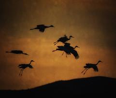 Tex landing (marylouiseshoemaker) Tags: newmexico birds cranes bosque