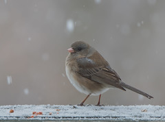 Junco through New and Old Glass :) (Bonnie Ott) Tags: junco sparrow juncohyemalis darkeyedjunco bonniecoatesott