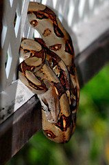 Boa constrictor (mothclark62) Tags: park costa america reptile snake wildlife central rica lodge boa national american latin rican tortuguero constrictor constricter mawamba