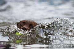 Bow wave. (Marcus Legg) Tags: dog pet water canon eos bokeh splash tennisball dogstoy magicdrainpipe ef80200mmf28l 1dmarkiv marcuslegg