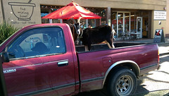 Did I ever tell you about the time I saw a dog driving a pickup truck with a goat in the back? (vision63) Tags: dog pet animal fauna truck fun restaurant oakland north goat pickup bowl ave mixing telegraph