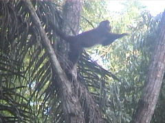 Black Capped Capuchin