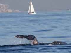 gray whales-channel islands (1) (gskipperii) Tags: air breath whale splash spout marinemammal channelislands fluke oxnard