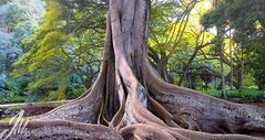 All Photos-975 (jmdarter) Tags: tree beach garden botanical hawaii bay fig kauai poipu allerton moreton