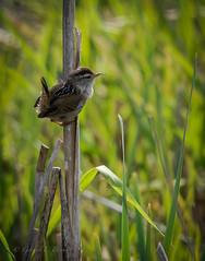 Marsh Wren (gfbrown44) Tags: marsh wren