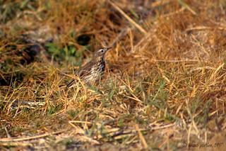 Siberian Buff-bellied Pipit, Pipit farlousane (Anthus rubescens japonicus) - 1997-03-18 - Eilat-IL