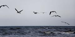 aves (betho itinerante) Tags: color libertad mar playa viento cielo alas nubes contraste parvada olas horizonte volando volar altocontraste