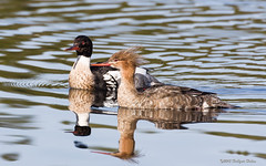 Love is in the air II (Hallgeirs Photos) Tags: life bird animal duck aves and liv fugl dyr vertebrate lightroom redbreastedmerganser amnion canoneos60d flickrall andefugler virveldyr silandmergusserrator