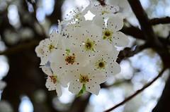 Bradford Pear blossums (jscollins7) Tags: spring bradford bokeh kentucky blossoms pear madisonville
