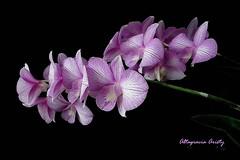 Orquídeas/Orchids (Altagracia Aristy Sánchez) Tags: blackbackground américa orchids dominicanrepublic tropic caribbean orquídeas antilles laromana caribe tropico fondonegro caraïbe antillas quisqueya altagraciaaristy fujifilmfinepixhs10 fujihs10 fujifinepixhs10