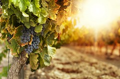 Climate Change And Wine: Should We Be Preparing For A Grape-ocalypse? (jdfesta) Tags: travel food inspiration green tourism beer coffee cheese wine tea chocolate wordpress culture ethics cocktails eco responsible ifttt