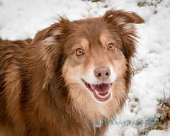 Denali <3 (Lakeside Annie) Tags: snow dogs 50mm nikon northcarolina aussie australianshepherd thursday snowday lakenorman aussies 2015 australianshepherds d7100 denvernc nikkor50mm18g nikond7100 02262015 20150226