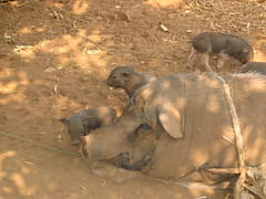 Big pig and Piglets in Akha Village