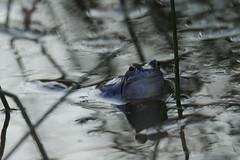 Heikikker Moor Frog (Steentijd) Tags: 2015 kikkers ranaarvalis moorfrog heikikker amfibieen