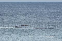 Circling (Jason Whittle Photography) Tags: sea playing seascape pod australia whale sa mammals southaustralia portlincoln eyrepeninsula whalesouthernright whalesouthernrightwhitewhalepod