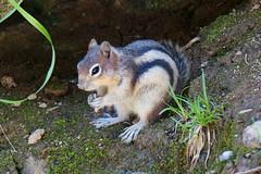 Golden-mantled Ground Squirrel (Stefan Jrgensen) Tags: callospermophiluslateralis goldenmantledgroundsquirrel groundsquirrel rodent goldmantelziesel canadianrockies johnstoncanyon rockymountains mammal canada banffnationalpark dslra700 sony a700 2013