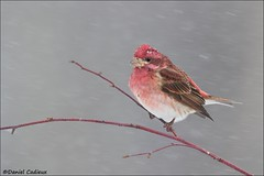Winter Purple Finch (Daniel Cadieux) Tags: finch winterfinch purplefinch male winter snow snowfall snowflakes wind windy cold ottawa dogwood