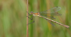 Emerald Damselfly. (Lestes sponsa)Female. (Sandra Standbridge.) Tags: emeralddamselfly lestessponsa wildandfree outdoor perched reed grass insect macro animal depthoffield