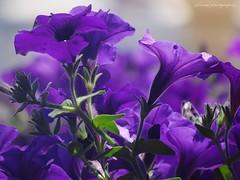 Israel flowers (jackfre2) Tags: flowers bird plants saronapark gardens israel telaviv sarona