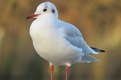 Blacked Headed Gull {Larus ridibundus} - Ifield Mill Pond (Danny's Nature) Tags: crawley west sussex wildlife trust south east england horsham animals mammals birds reptiles amphibians fish insects spiders nature countryside flower bugs high wealds gatwick hampshire kent london