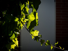 Asombrada (Luicabe) Tags: airelibre cabello enazamorado enredadera exterior hiedra hoja luicabe luis naturaleza planta rama trepadora yarat1 zamora