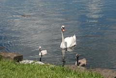 Orlando - Lake Eola Park - Swans (jrozwado) Tags: park usa bird orlando swan florida wildlife cygnet northamerica lakeeola egret