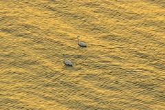 Golden light (Mircea D GHEORGHE) Tags: nikonflickraward swan mangalia romania golden light blacksea waves water
