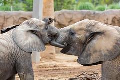 Elephants (marzipan bunny) Tags: arizona elephant animals zoo 1 tucson july nandi babyelephant 2016 reidparkzoo elephantbaby zoophotography