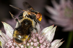 """""""Oi, You There - Go That Way!"""" - _TNY_8955 (Calle Sderberg) Tags: pink flower macro canon insect fly flash insects bumblebee pointing hoverfly ringflash syrphidae bombus astrantia masterwort dcr250 raynox greatmasterwort humla stjrnflocka compoundeyes givingdirections blomfluga eristalinae canonef100mmf28usmmacro quadricolor volucella pellucens psithyrus canoneos5dmarkii cuckoobumblebee yongnuo canon5dmkii pellucidfly fnsterblomfluga humleblomfluga snylthumla yn14ex broksnylthumla brokigsnylthumla"""