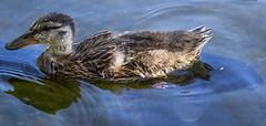 Baby Ducky! (Xynalia) Tags: california park baby cute wet water swim duck pond feathers adorable sanjose droplet