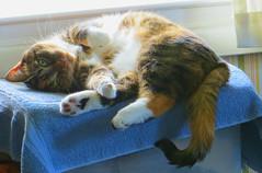 Gracie 13 July 2016 0121Ri 4x6 (edgarandron - Busy!) Tags: cats cat gracie tabby kitty kitties tabbies patchedtabby