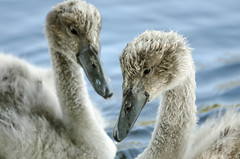 Cygnet siblings (D1g1tal Eye) Tags: bird nikon young cygnet feather 55300mm d7000