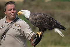 american bald eagle amerikaanse zeearend captive (kPepels) Tags: american bald eagle amerikaanse zeearend captive