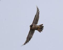 Peregrine Falcon (Tom Clifton) Tags: pointlobos birding whalersknoll falcon peregrinefalcon pefa