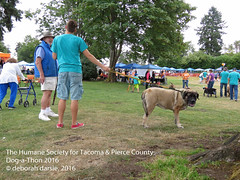 DAT2016_Crowd+Mastiff_1063 (greytoes_99) Tags: agility dat2015 dat2016 event humanesocietytacoma people summer tacoma tacomahs volunteers dog humananimalbond cat lakewood wa us