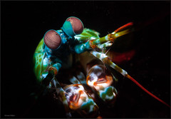 IMG_9916 (NonnaSP) Tags: animals bali diving macro mantisshrimp nature ocean odontodactylusscyllarus peacockmantisshrimp sea seraya snoot tulamben underwaterphotography water