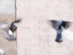 Birds in the city (TikoTak) Tags: town city ville oiseau bird animal wall mur liberty libert free