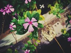 When it rains on flowers... (Dheeraj Kalgutkar) Tags: flowers nature environment india maharashtra colors colorful rains raindrops water plant