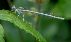 DSC5757  Damselfly.. (jefflack Wildlife&Nature) Tags: whiteleggeddamselfly damselfly damselflies insects insect odonata wildlife hedgerows moorland lakes glades countryside nature