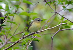 Philadelphia Vireo (av8s) Tags: philadelphiavireo vireo songbirds perchingbirds birds wildlife nature photography nikon d7100 sigma 120400mm mageemarsh ohio oh